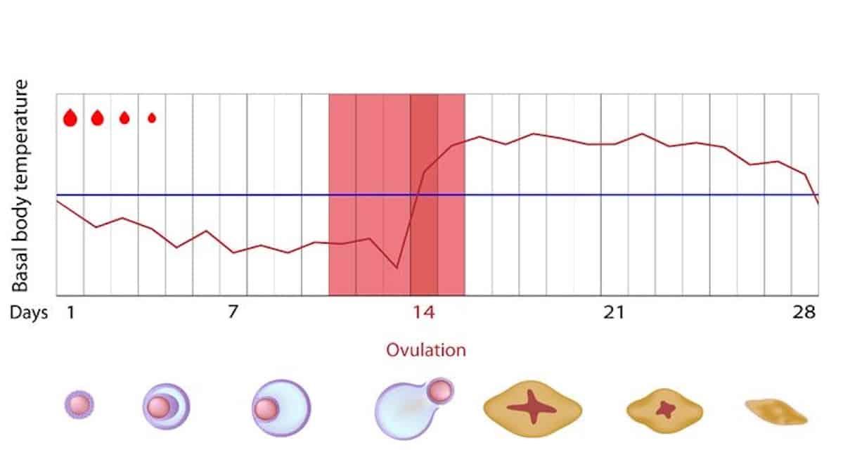 temperatuurmethode bijhouden zwanger worden