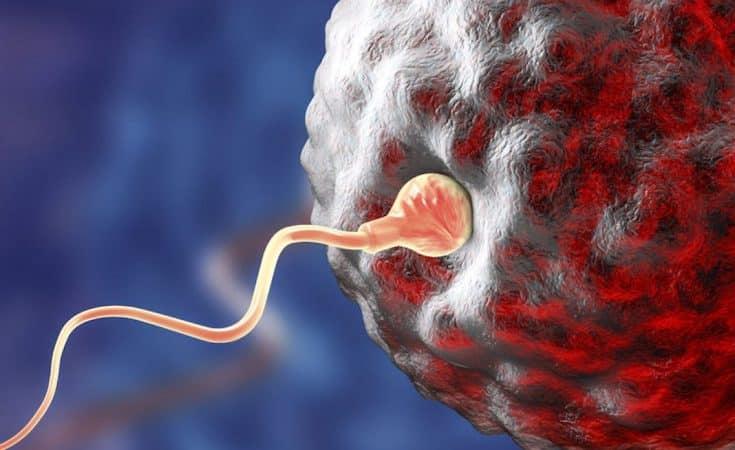 bevruchting eicel menstruatiecyclus
