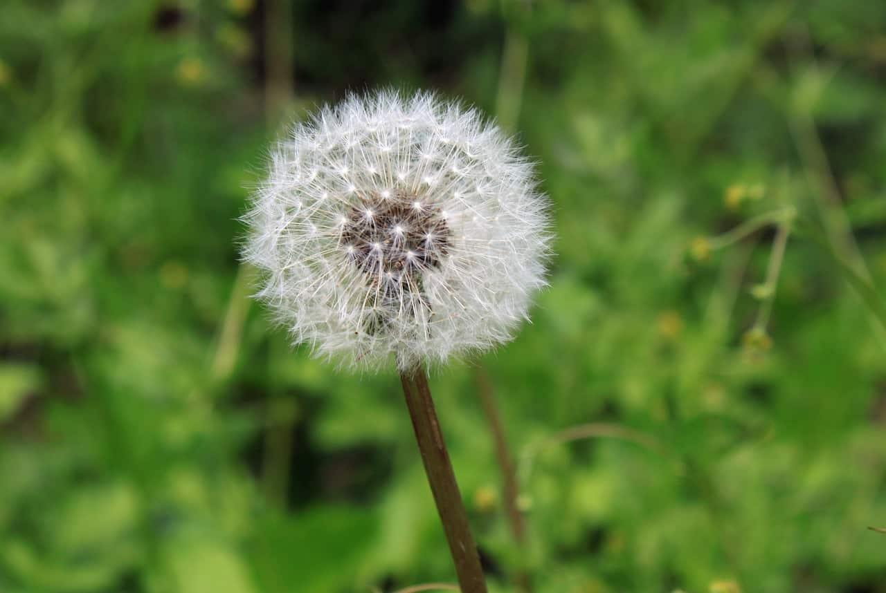 hooikoorts pollen
