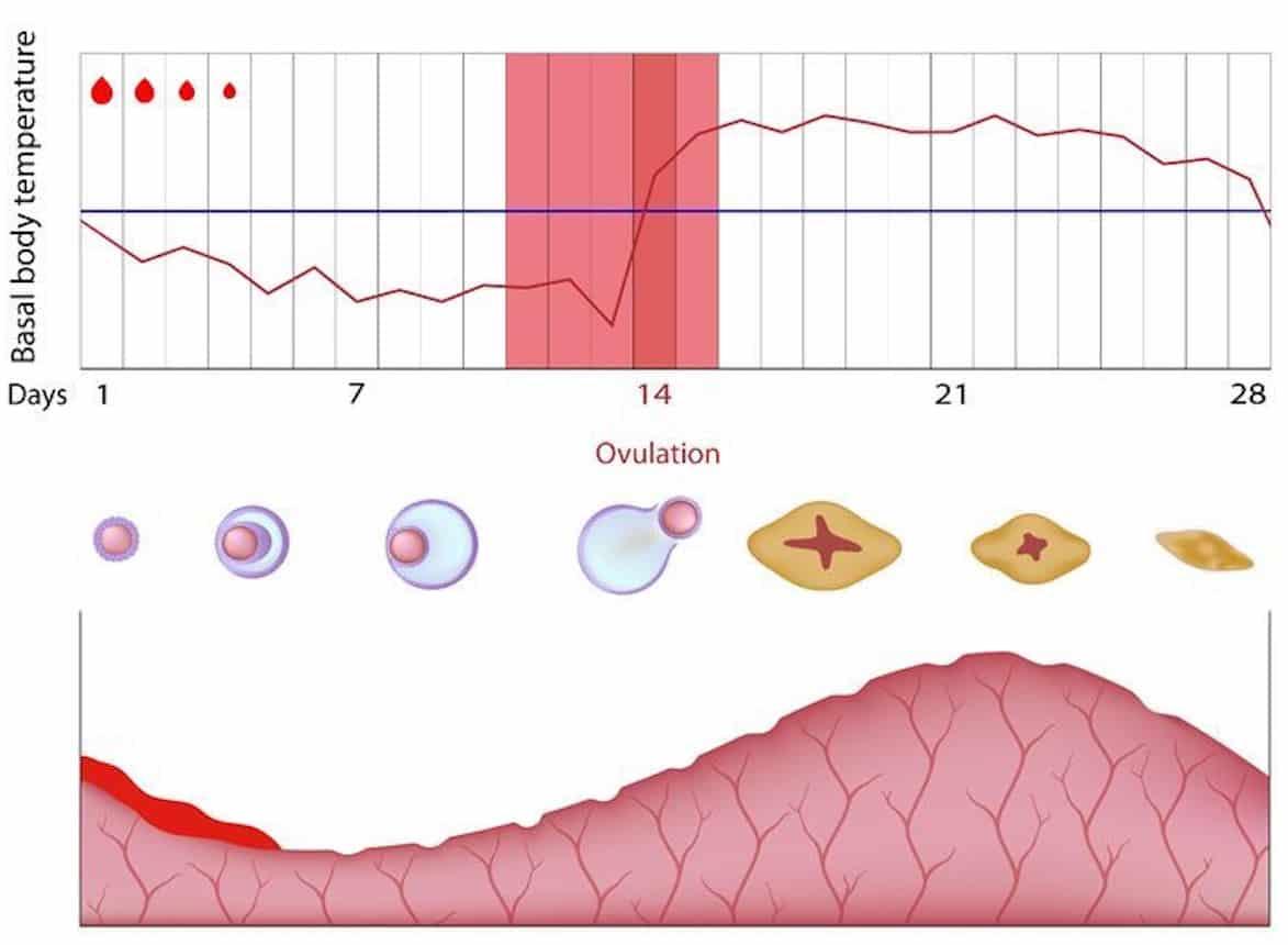 temperatuurmethode basale lichaamstemperatuur vruchtbaarheidsgrafiek
